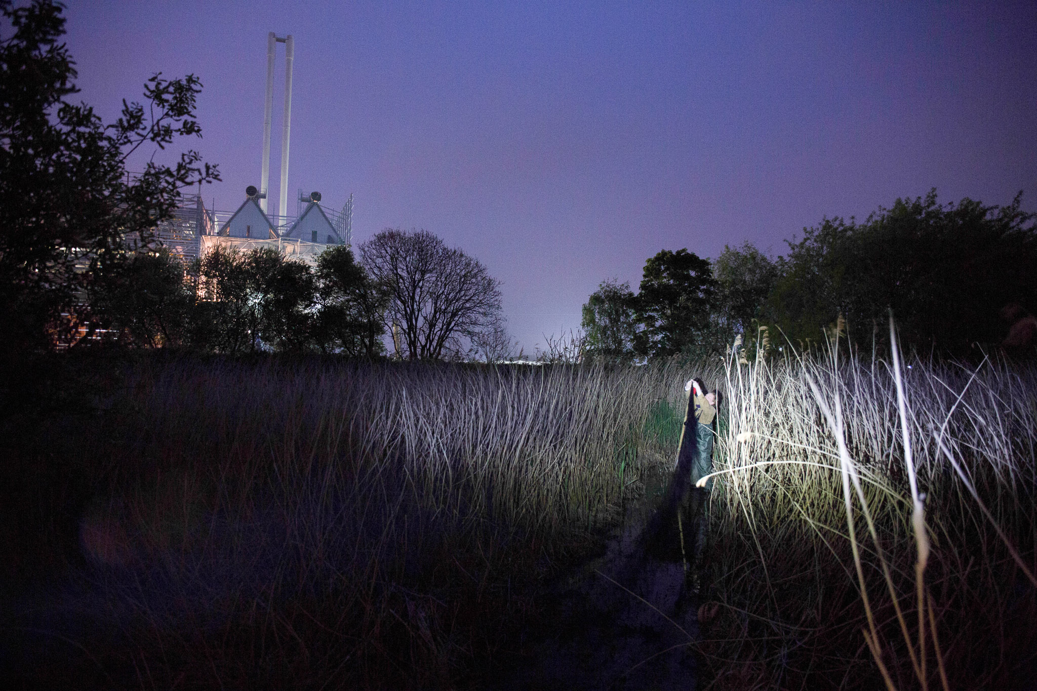 David Campbell sets out long, fine mist nets to catch passing birds.Behind is the Beddington Incinerator, collecting vital data from bird ringing allows the land owners to visually see the large biodiversity  in the surrounding reedbeds.