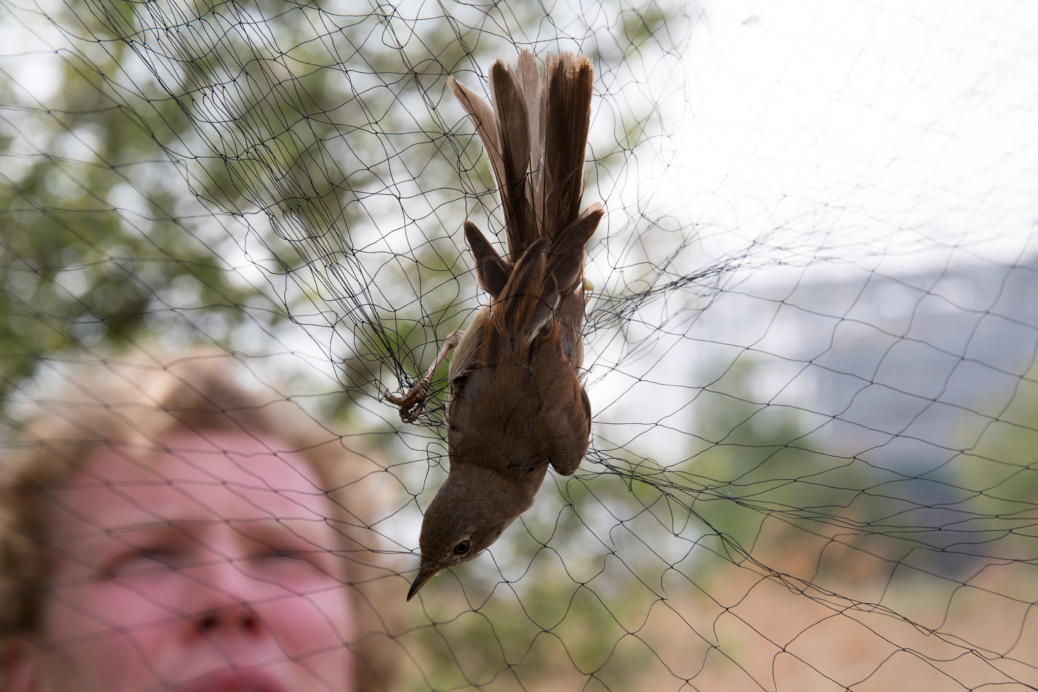 The mist nets are made of a soft fine material enabling the humane and safe capture of  live birds.