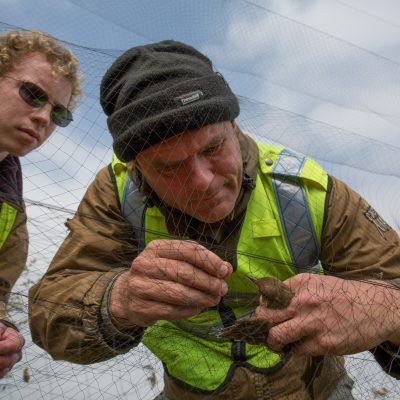 A fellow volunteer carefully untangles one bird from the nets.