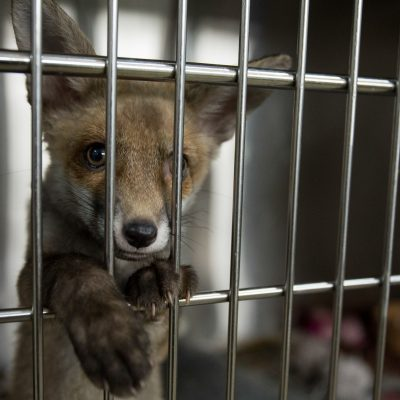 Orphaned fox cubs crave social encounters and often orphans will be kept together in order to form a strong social bond.