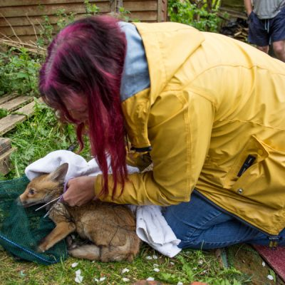 Football nets are often huge cause of fox deaths. Here Taz is carefully cutting away the net to free the cub.