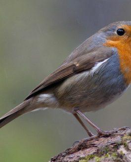 The very friendly robin